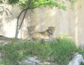 Terra Natura Benidorm incorporates three lionesses